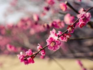 JAPAN-PARK-PINK-FLOWERS-PLUM