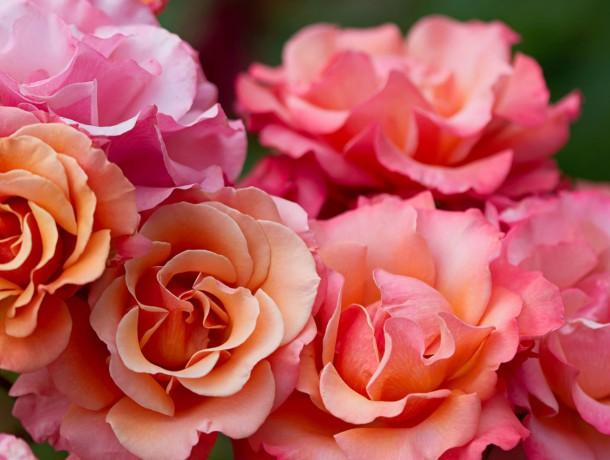 PINK-ROSE-FLOWERS-MACRO