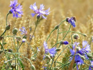 Wheat-field-blue-flowers-co...