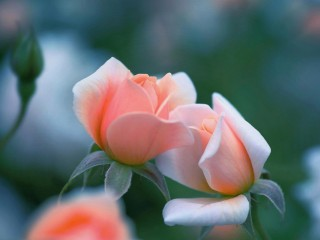 Pink-rose-flowers-bokeh
