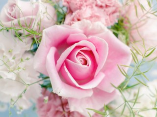 Pink-rose-beautiful-flowers