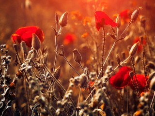 Red-flowers-bokeh-sunlight