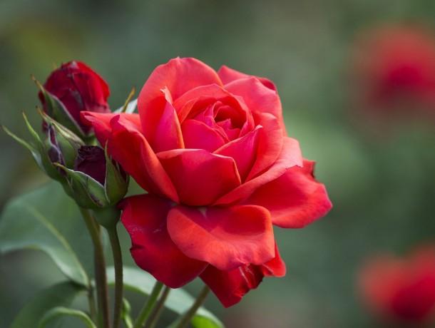 Red-rose-flower-buds-leaves