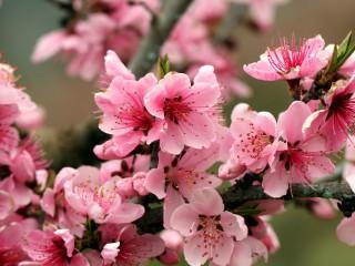 SPRING-APPLE-TREE-PINK-FLOW...