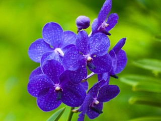 blue_orchids-Flowers_Photog...