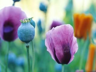 POPPY-FLOWERS