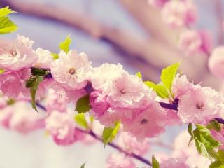 Sakura-pink-flowers-petals-...