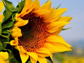 Sunflower-yellow-flowers-su...