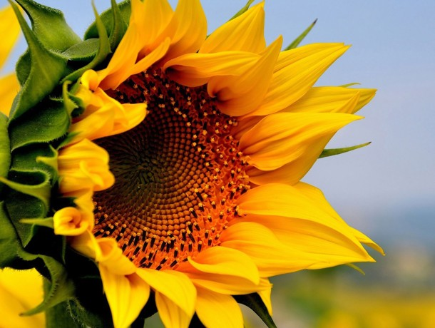 SUNFLOWER-YELLOW-FLOWERS-SU...