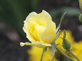 Yellow-rose-flower-close-up
