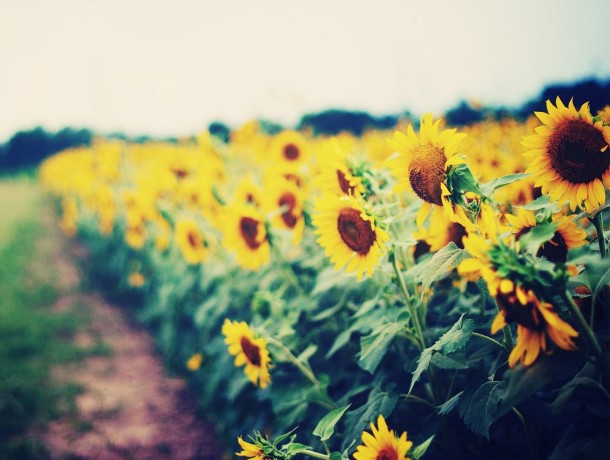 SUNFLOWERS-GARDEN